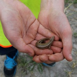 Look what I found! Portobello pupil with NZ Skink